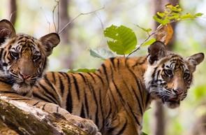 harimau bandhavgarh